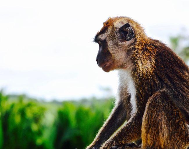 Animal Themes One Animal Animal Wildlife Vertebrate Monkey Looking Away Nature