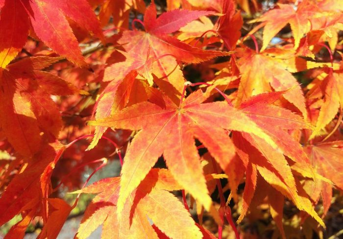 Autumn Autumn Leaves Autumn Colors Maple Maple Leaves Red Yellow