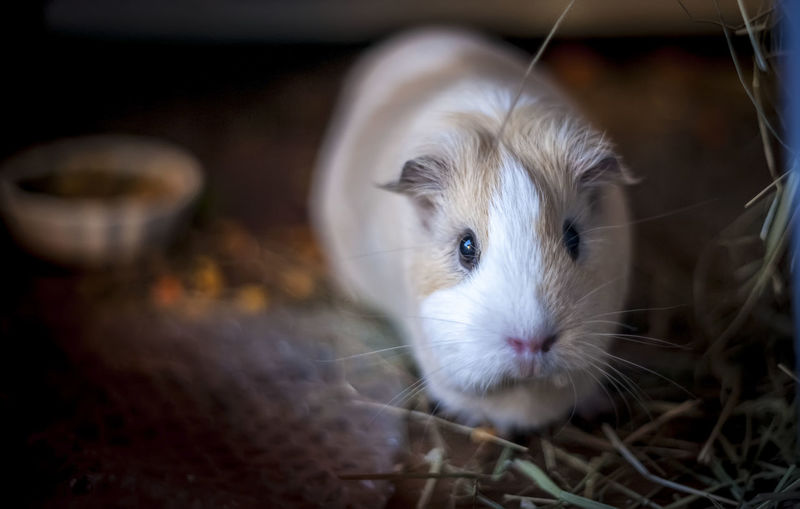 Guinea pig portrait, nice bokeh Animal Hair Animal Head  Animal Nose Animal Themes Bokeh Close-up Day Domestic Animals Focus On Foreground Guinea Pig Indoors  Looking At Camera Mammal Meyer-Optik Natural Light No People One Animal Pets Portrait Zoology Pet Portraits