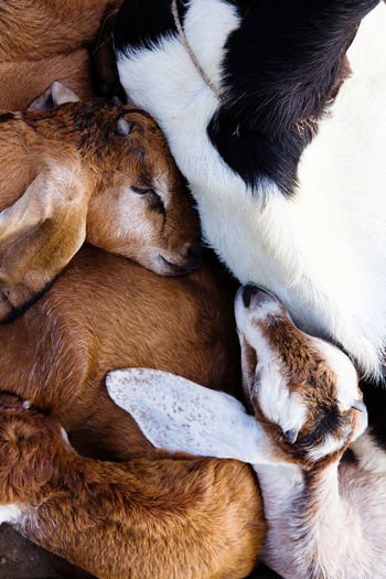 baby goat sleep in the farm Baby Goats Animal Themes Baby Goat Close-up Day Domestic Animals Goat Life Mammal No People Pets Young Animal