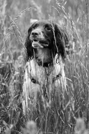 Rory Dogs Springer Spaniels Gundogs Black & White Dog Walking Summertime Pets
