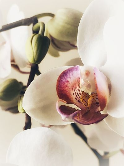 Orchid Orchid Close-up Plant Freshness Flower No People Flowering Plant Growth Petal Flower Head Beauty In Nature