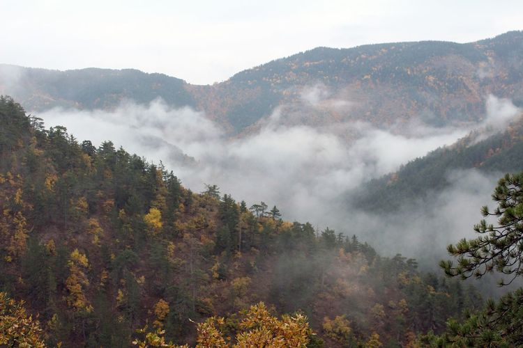 Tree Mountain Fog Forest Mountain Peak Autumn Pinaceae High Angle View Pine Tree Dawn Tea Crop Valley Satoyama - Scenery Chiang Mai Province Plateau Snowcapped Sunrise - Dawn Sky Only Terraced Field Shining Snowcapped Mountain Pine Woodland Chinese Tea Streaming Plantation Yukon Sunbeam Tea Leaves