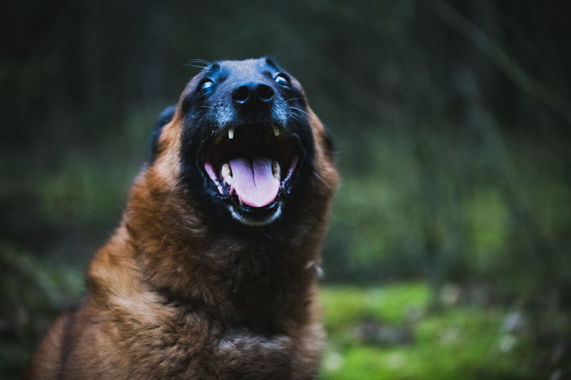 Close-up of a smiling dog