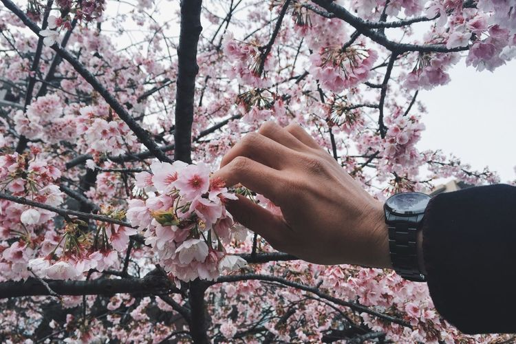 Cropped hand holding cherry blossoms on tree