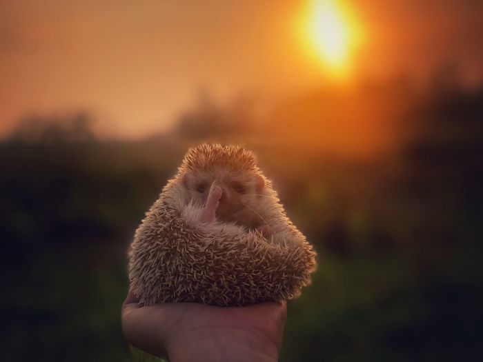 Hedgehog on woman hand with sunset scenery
