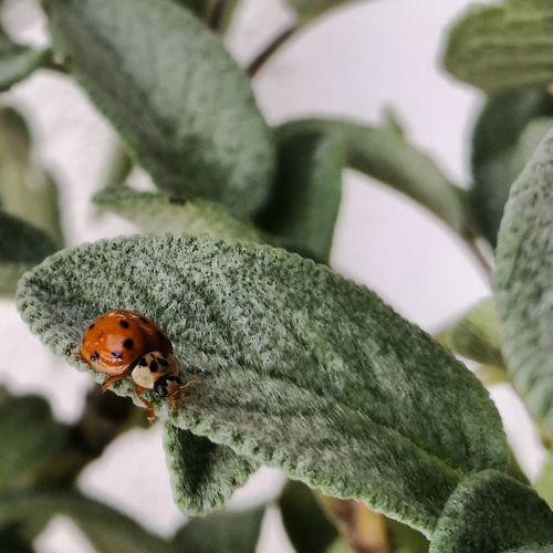 Sage Leaf Garden Nature EyeEm Selects Leaf Insect Close-up Green Color Plant Bug Ladybug