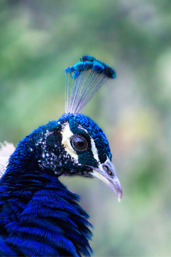 Up Close and Personal with a Peacock Peacock Feather  Nature Nature Photography Beauty In Nature Bird Blue Purple Wildlife Animal Eye Animal Pretty Color Colorful Profile View HEAD Close-up Closeup Beauty Beautiful Beak Upclose  South Africa Swaziland  Eswatini