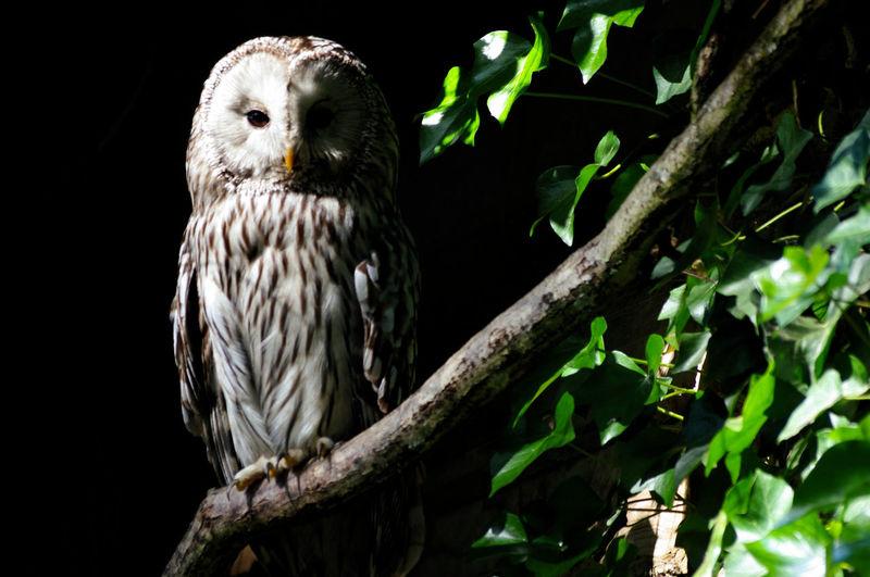 Perched Animal Wildlife Animals In The Wild Bird Of Prey Branch Nature Outdoors Owl Predatory Bird Side Light Tree