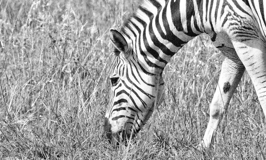 View of zebra grazing on field