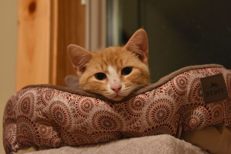 Kitten Looking at Me Animal Themes Cat Close-up Day Domestic Animals Domestic Cat Feline Foster Kitten Indoors  Kitten Looking At Camera Lying Down Mammal No People One Animal Orange And White Cat Pets Portrait Stare Tabby Cat