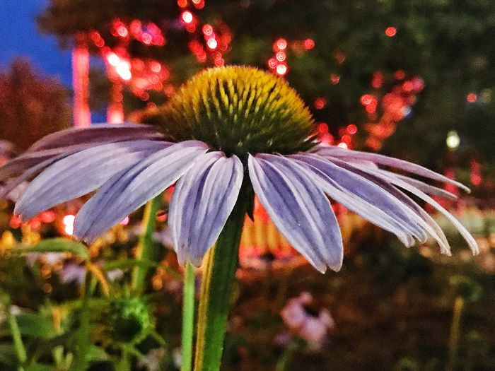 Wildfun Flower Fragility Growth Focus On Foreground Nature Freshness Flower Head Beauty In Nature Close-up Outdoors Petal No People Plant Blooming Day Eastern Purple Coneflower Amusement Park Darien Lake The Week On EyeEm Perspectives On Nature