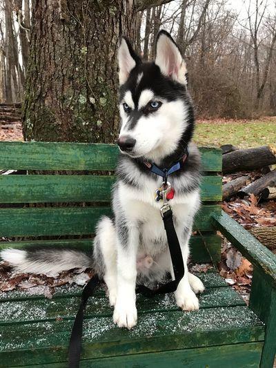Jasper siberian husky dog snow Pets