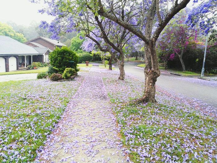 蓝花楹💜💙 Flower Nature Beauty In Nature Springtime Color Photography Enjoying Life View Outdoors Street Photography Hi! Australia