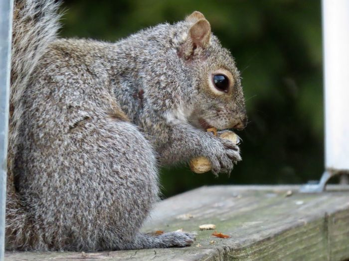 Squirrel eating a peanut perched atop a wooden railing closeup side view EyeEm nature lover outdoors animal themes Animal Wildlife Rodent One Animal No People