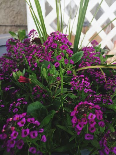 Mothersday Purple Flower Potted Plants