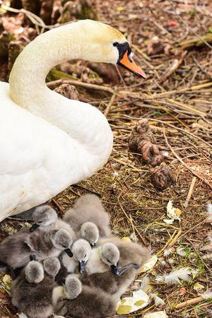 Swan Babyanimals Animals Animals In The Wild Cuteanimals Cute Locarno