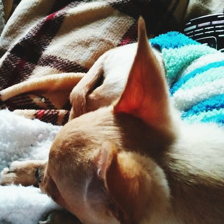 henry has his own instagram follow him at henrythelilchihuahua Chihuahuaoftheday Chichuahua Dogstagram Chihuahua Puppy Chihuahuasofinstagram Followme Newtothis EyeEm Nature Lover I Love My Dog First Eyeem Photo