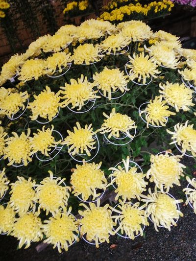 Japan 菊 Chrysanthemum Japanese Chrysanthemum Yellow Chrysanthemum Yellow Flowers Flower Yellow Fragility Outdoors Petal Freshness Plant Nature Day Growth Beauty In Nature Flower Head No People Leaf Close-up Blooming