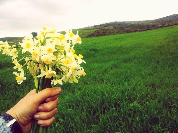 Narcissus Flowers Fieldscape Gelma Algeria