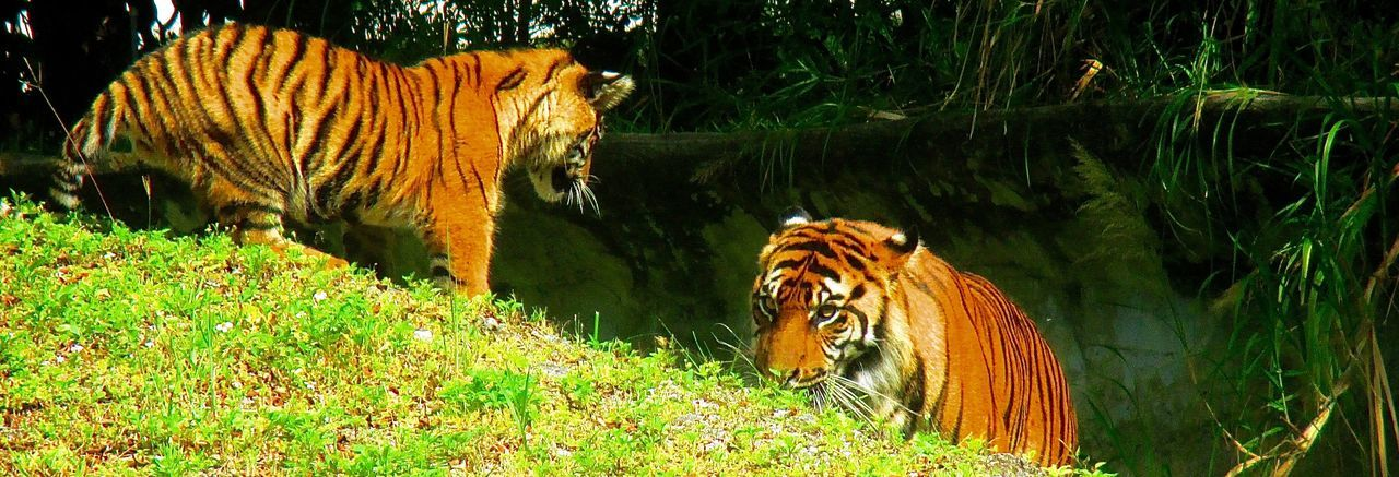 Animal Animal Markings Animal Themes Beauty In Nature Day Grass Grassy Green Color Mammal Mother And Child Animals Nature No People Outdoors Plant Tiger Tiger Interaction Zoo