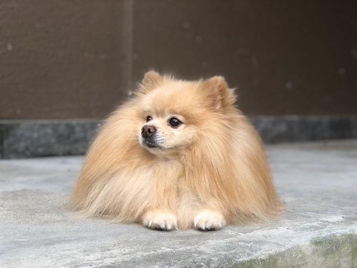 Pomeranian glazing in the sun