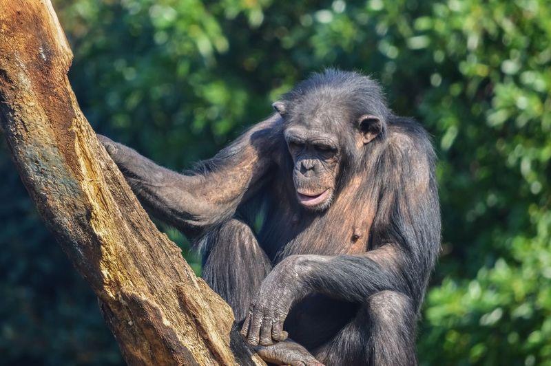 Close-up of chimpanzee on tree