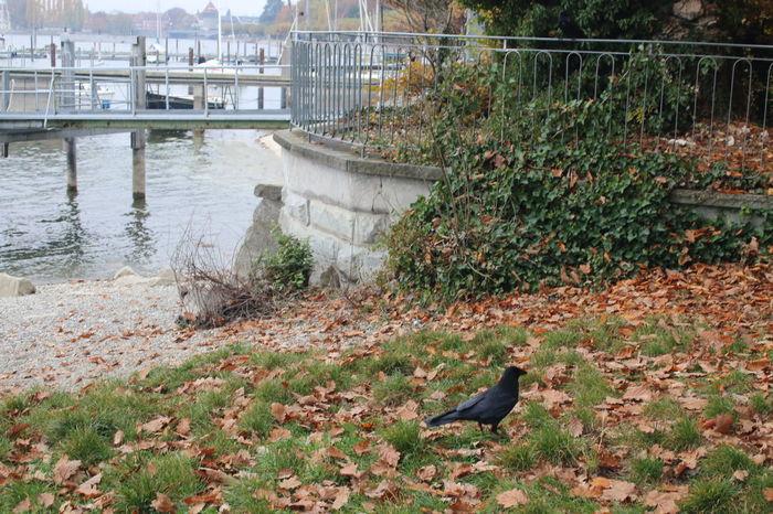 Bird Bodensee Crow