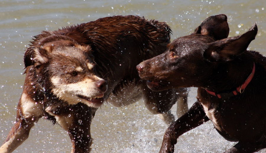 Wet dogs snarling on shore at beach