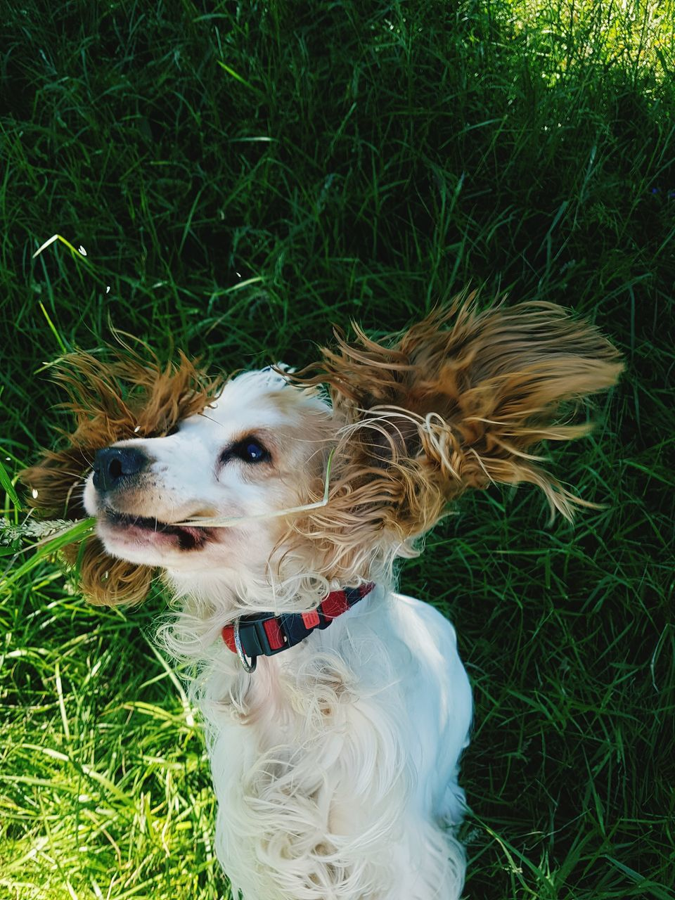 dog, grass, pets, one animal, domestic animals, animal themes, mammal, green color, field, outdoors, day, nature, no people, close-up