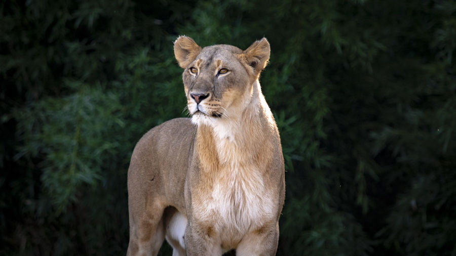 Lioness looking away standing outdoors