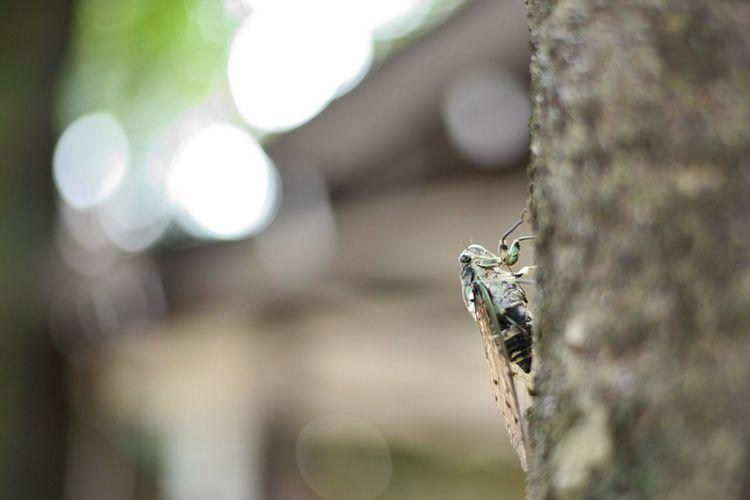 Robust cicada sitting on tree trunk
