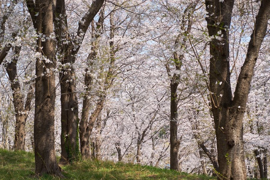 Cherry Blossom Sakura Nature_collection Yokohama Japan Plant Tree No People Growth Nature Day Outdoors Land Forest WoodLand Backgrounds Sunlight Full Frame Low Angle View Beauty In Nature Tree Trunk Trunk Tranquility Architecture Landscape