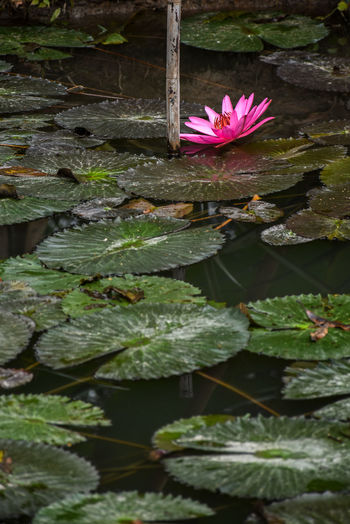 Beauty In Nature Close-up Day Floating On Water Flower Flower Head Flowering Plant Fragility Freshness Green Color Growth Inflorescence Leaf Lotus Water Lily Nature No People Outdoors Petal Pink Color Plant Plant Part Pond Purple Vulnerability  Water