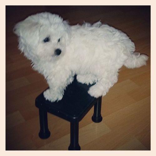 Что значит творческая атмосфера в доме, собака сама залазит на стульчик и устраивает цирковые номера.