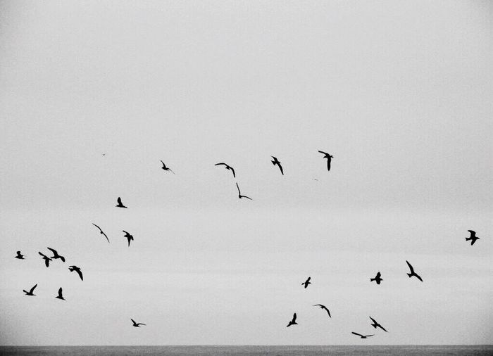 Monochrome Photography Birds In Flight Birds Flying Free Black & White Blackandwhite Photography Blancoynegro Black And White Collection  http://www.youtube.com/watch?v=CA7X28Y_kg0&sns=em Capturing Freedom All I Need Snapshots Of Life Simple Photography