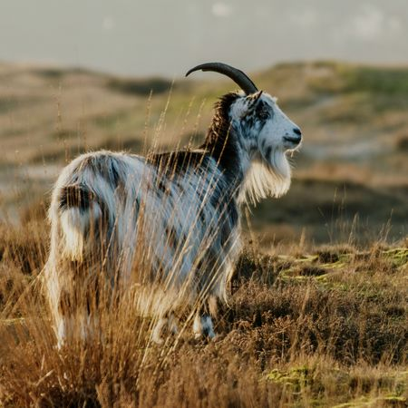A lonely goat. One Animal Animals In The Wild Animal Wildlife Outdoors Goat Goat Life Beauty In Nature Animal Themes Grass Nature