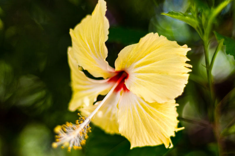 Beauty In Nature Blooming Close-up Flower Flower Head Fragility Freshness Growth Ibiscus Nature Petal Plant Yellow