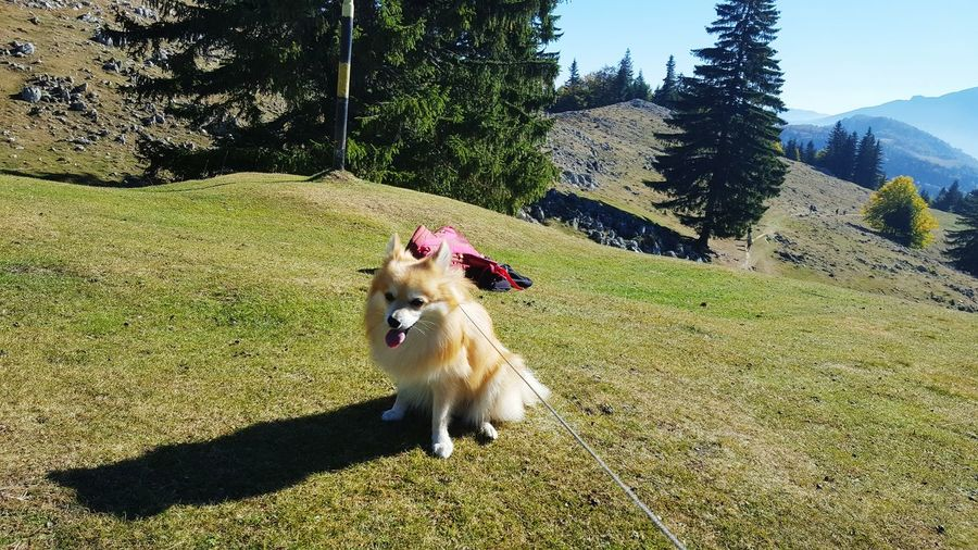 taking a breath Pomeranian Mountain Romania EyeEm Selects Pets Dog Tree Sunlight Sky Animal Tongue Shadow Mountain Range Mountain Road