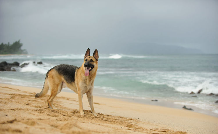 German Shepherd dog Animal Themes Beach Day Dog Domestic Animals German Shepherd No People Ocean One Animal Outdoors Pets Shepherd