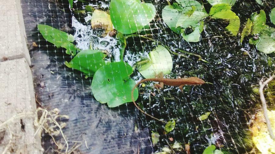 Lizard Walking Across Pond