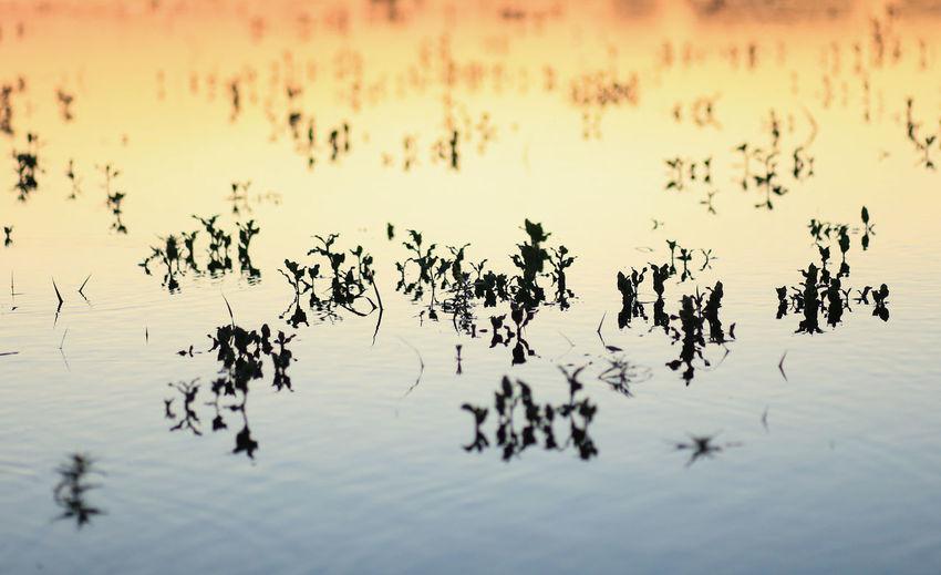 Flock of birds on lake during sunset