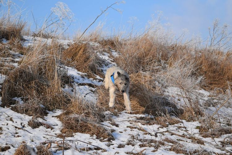 Snow Cold Temperature Winter Animals In The Wild Nature Animal Themes Outdoors Sky Day Running Dogwalk Dogs Of Winter Dog Of The Day Dogs Of EyeEm Irish Wolfhound Cearnaigh Dogslife Sunlight Winter 2017 January 2017 Animals In The Wild Frozen Winter