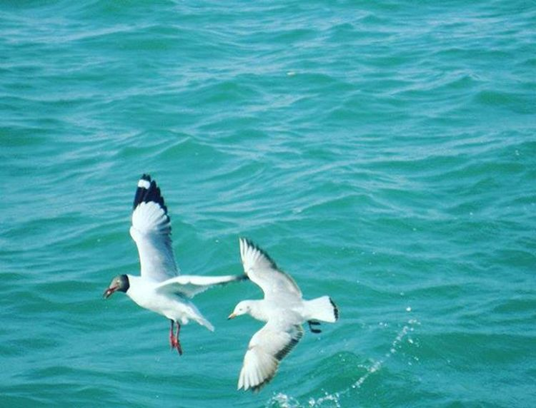 Black headed gull- Arabian Sea, Gujarat. Throwback First Solotrip WestCoast Gujarat India Okha Blackheaded Gull Nikon Birdphotography Boatride