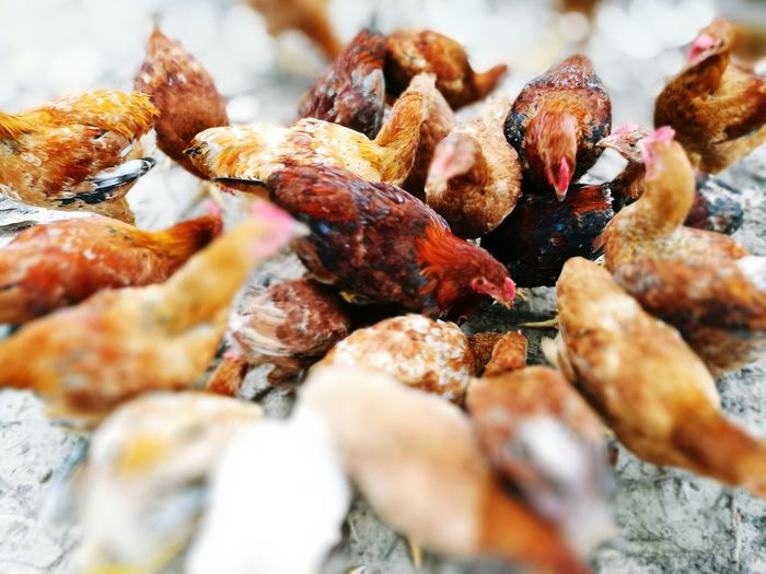 Outdoors Large Group Of Objects Nature Close-up No People ThisIsMalaysia Villagelife Chickens Day Animal Themes Animal Domestic Animals