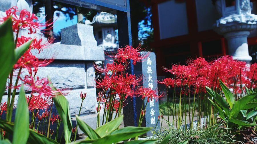 彼岸花 Spiderlily Red Flowerporn Photowalk Streamzoofamily M.zuiko