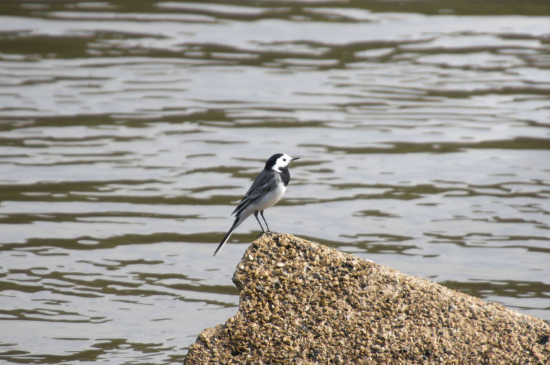 Bird perching on rock by lake
