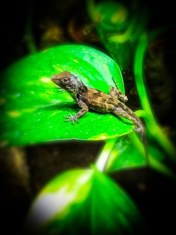 Anolis Animal Themes Animal Wildlife Animal Animals In The Wild One Animal Green Color Insect Plant Part Nature Zoology Reptile No People