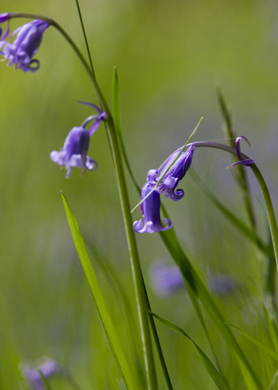 Beauty In Nature Bluebells Flower Freshness Green Green Color Growth In Bloom Petal Selective Focus Showcase June