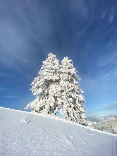 Snow covered tree against blue sky